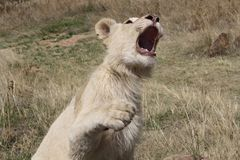 Wildlife, Lion, Facial Expression, Terrestrial Animal royalty free stock images