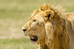 Wildlife - Lion. Portrait of a Lion (male) in Serengeti National Park, Tanzania Royalty Free Stock Photo