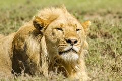 Wildlife - Lion. Portrait of a Lion (male) in Serengeti National Park, Tanzania Stock Images