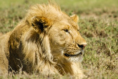 Wildlife - Lion. Portrait of a Lion (male) in Serengeti National Park, Tanzania Stock Photography