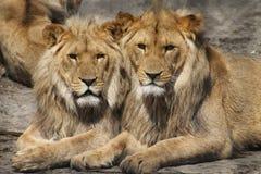 Wildlife, Lion, Terrestrial Animal, Mammal Royalty Free Stock Photography