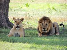Wildlife, Lion, Terrestrial Animal, Mammal Royalty Free Stock Photos