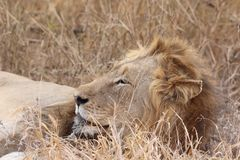Wildlife, Lion, Terrestrial Animal, Masai Lion Stock Photography
