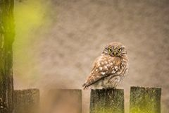 Wildlife - Little Owl on a fence stock image