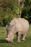 Wildlife, a lone Male Southern White Rhino. Male Southern White Rhino alone in a field Stock Photos