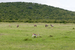 Wildlife in Maasai Mara Park in Kenya Stock Photography