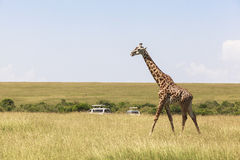 Wildlife in Maasai Mara Park in Kenya Stock Photos