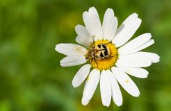 Bee beetle Trichius fasciatus sitting on little white flower royalty free stock photo