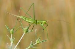 Bush cricket or Spiked Magician Saga pedo in Czech Republic royalty free stock image