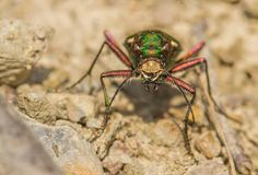 Green tiger beetle Cicindela campestris in Czech Republic stock photos