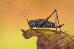 The dark bush-cricket Pholidoptera griseoaptera in Czech Republic stock images