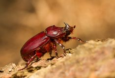 European rhinoceros beetle Oryctes nasicornis female in Czech Republic stock photography