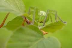 Green huntsman spider, Micrommata virescens camouflaged on leaf, in Czech Republic stock photo