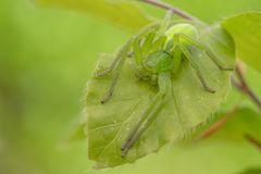 Green huntsman spider, Micrommata virescens camouflaged on leaf, in Czech Republic royalty free stock image