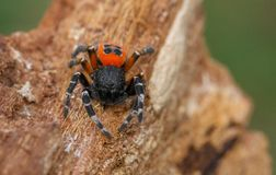 The Ladybird spider Eresus kollari in defence position stock images