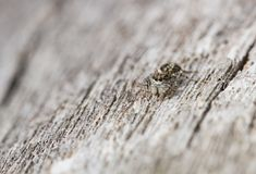 Jumping spider Pseudeophrys obsoleta in Czech Republic stock photo