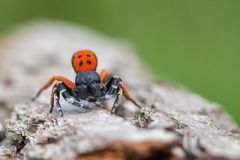A male Ladybird spider Eresus moravicus in Czech Republic royalty free stock photos