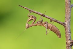 Mantis Ameles decolor, adult female in Croatia. Wildlife macro photo of Mantis Ameles decolor royalty free stock image