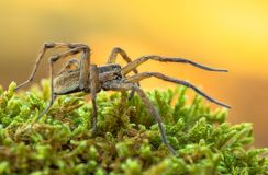 Wolf spider Hogna radiata in Paklenica Croatia. Wildlife macro photo of Wolf spider Hogna radiata royalty free stock image