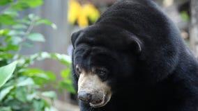 Malayan sun bear. Wildlife malayan sun bear looking stock video