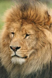 Wildlife, A Male African Lion sitting alone Royalty Free Stock Image