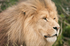 Wildlife, A Male African Lion sitting alone. A Male African Lion sitting in a field Royalty Free Stock Photography