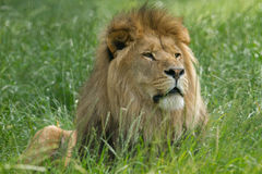 Wildlife, A Male African Lion sitting alone Stock Image