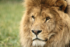 Wildlife, A Male African Lion sitting alone. A Male African Lion sitting in a field Stock Photography