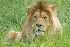 Wildlife, A Male African Lion sitting alone Royalty Free Stock Images