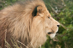 Wildlife, A Male African Lion sitting alone Stock Images