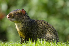 Wildlife, A male Azara's Agouti in a field. Stock Image