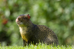 Wildlife, A male Azara's Agouti in a field. Royalty Free Stock Photography