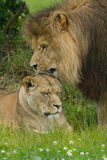 Wildlife, A male and female African Lion pair sitting alone Royalty Free Stock Photos