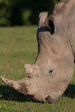 Wildlife, Male Southern White Rhino. Alone in a field Royalty Free Stock Photos