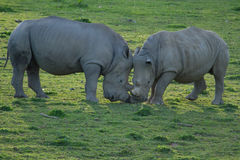 Wildlife, Male Southern White Rhino Royalty Free Stock Photography