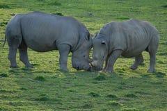 Wildlife, Male Southern White Rhino Royalty Free Stock Photography