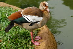 Wildlife mandarin duck Royalty Free Stock Photos