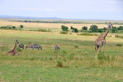 Wildlife in Masai Mara. Giraffes and zebras in the landscape of Masai Mara, Kenya, Africa Royalty Free Stock Image