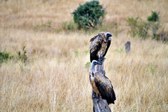 Vulture in masai mara Stock Image