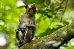 WILDLIFE FROM MAURITIUS - Wild macaque monkey Royalty Free Stock Images