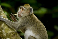 WILDLIFE FROM MAURITIUS - Wild macaque monkey Stock Photos