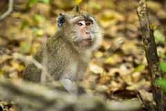 WILDLIFE FROM MAURITIUS - Wild macaque monkey Royalty Free Stock Photos