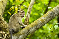 WILDLIFE FROM MAURITIUS - Wild macaque monkey Stock Image