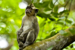 WILDLIFE FROM MAURITIUS - Wild macaque monkey Royalty Free Stock Photo