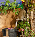 Wildlife monkey eating food from plastic bag closed to garbage, Brunei Stock Photography