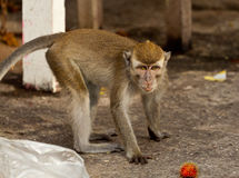 Wildlife monkey eating food from plastic bag closed to garbage, Brunei Stock Photo
