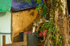 Wildlife monkey eating food from plastic bag closed to garbage, Brunei Stock Image