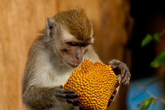 Wildlife monkey eating jack fruit, Brunei. Wildlife monkey eating food from plastic bag closed to garbage, Bandar Seri Begawan Brunei Borneo Royalty Free Stock Photography