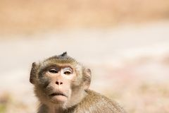 Wildlife Monkey. Portrait of a monkey in wildlife. Great Detail on his face expression Royalty Free Stock Photo