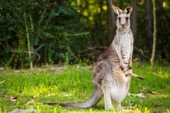 Wildlife Mother Kangaroo and baby in pouch Stock Images